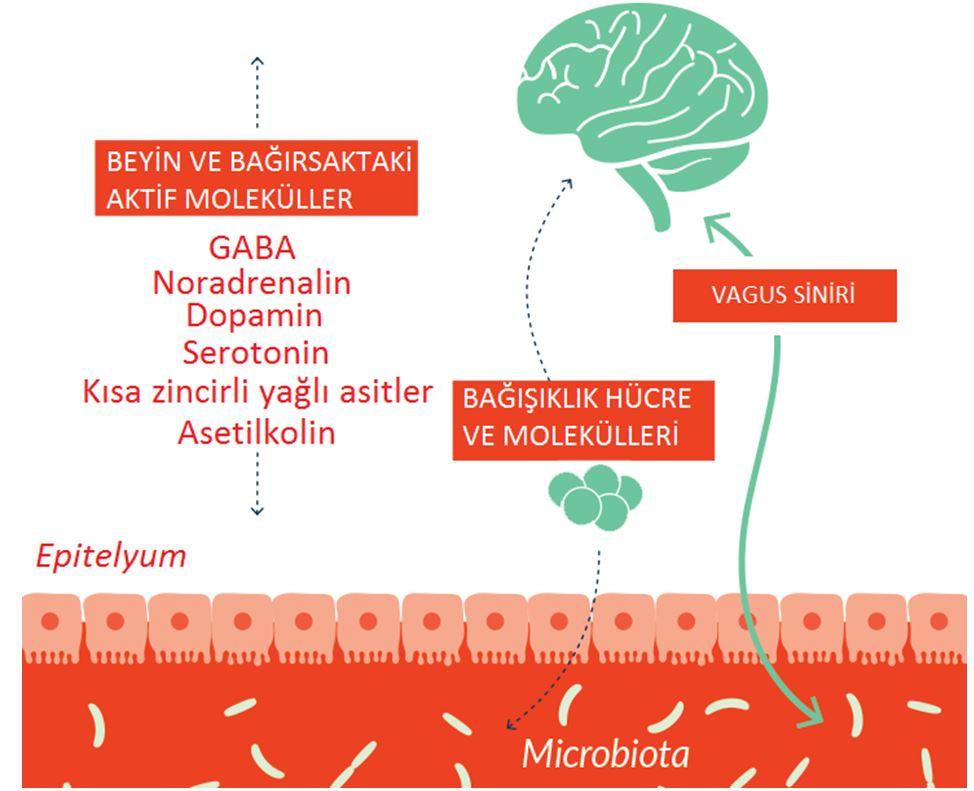 Photo of Bağırsaklarımızdaki Bakteriler Endişe ve Depresyon Konusunda Kilit Role Sahip